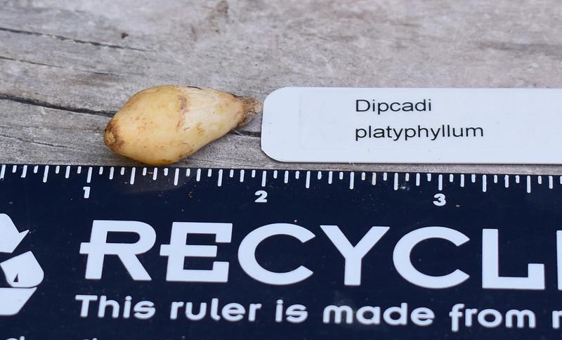 Dipcadi platyphyllum 2019-09-10.jpg