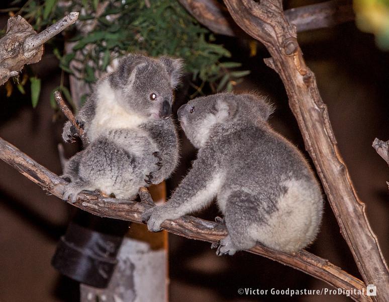 Koalafornia-43.jpg