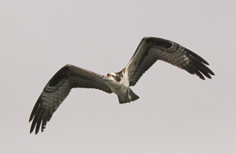 Osprey 61
