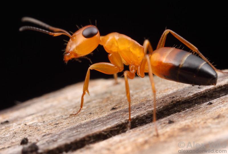 Opsithopsis haddoni