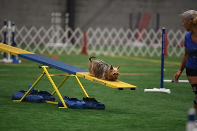Silky Terrier COA AKC Agility Trial August 9