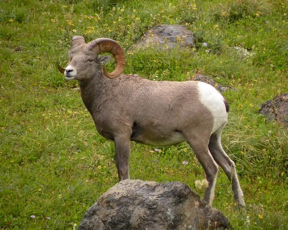 Bighorn Sheep in Glacier