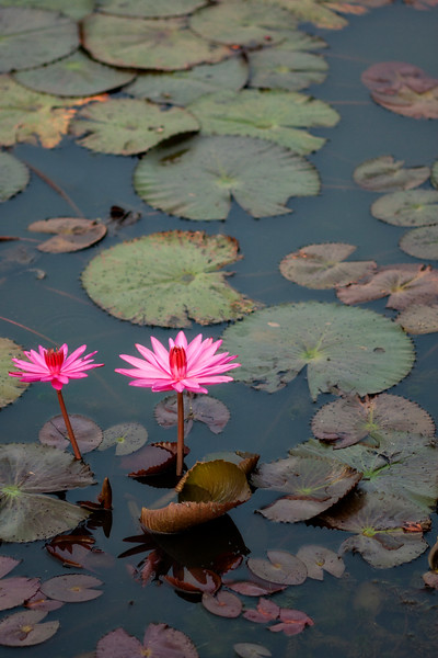 I can only assume these are lotus flowers in the lake before Angkor Wat.