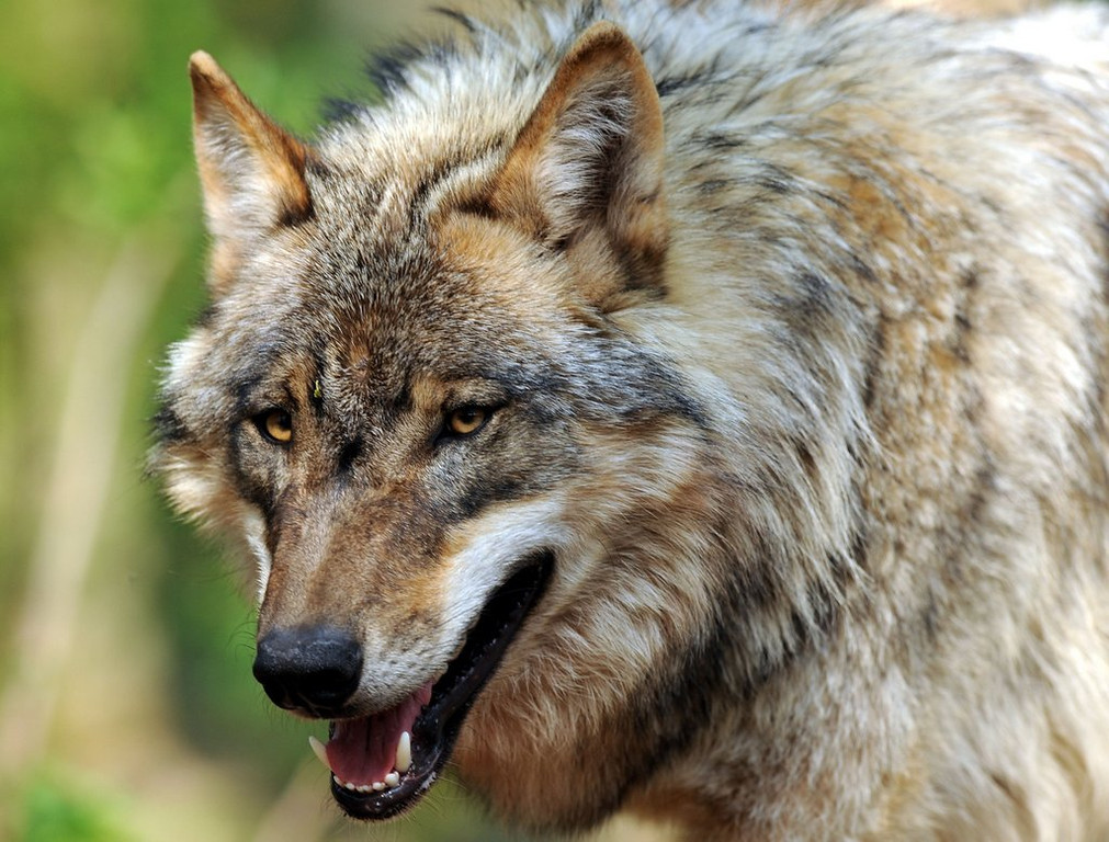 ". <p>8. (tie) WOLVES <p>Not always as docile as the ones you see at Target Center. (unranked) <p><b><a href=\'http://www.twincities.com/localnews/ci_23947833/apparent-wolf-attack-hurts-teen-northern-minnesota-campground\' target=""_blank\""> HUH?</a></b> <p>    (Ingo Wagner/AFP/Getty Images)"