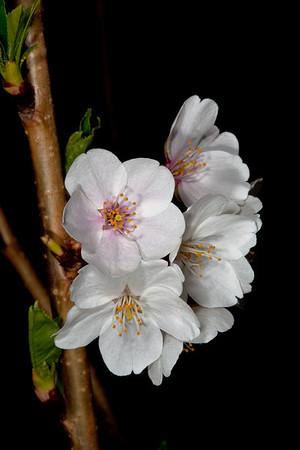 DC Cherry Blossom Festival (2010)