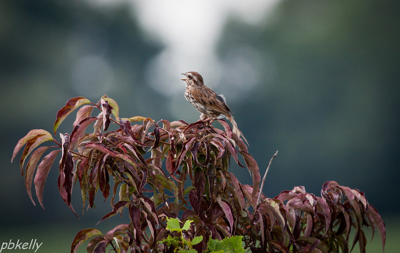 8/18. Peak Preserve.  Molting didn't stop this Song Sparrow from doing his thing at the top of the bush.