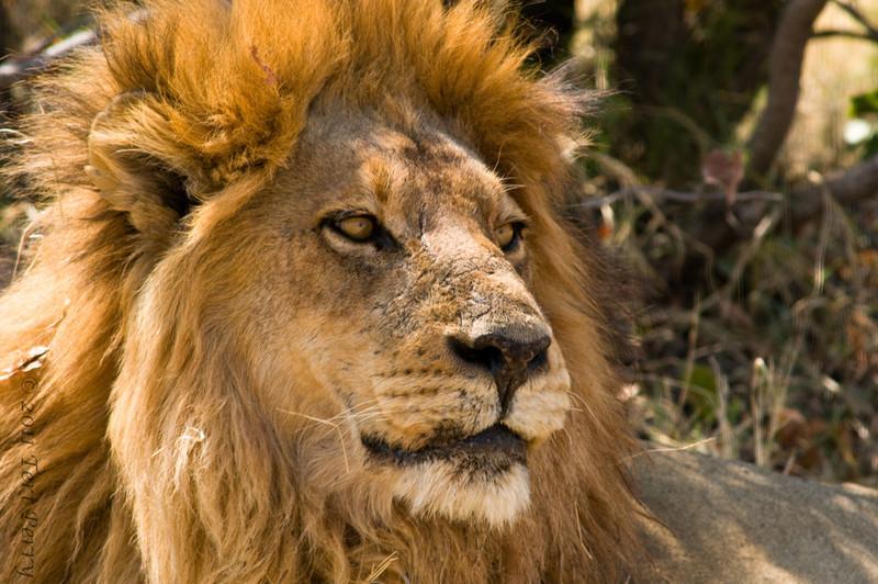 lion (1).jpg