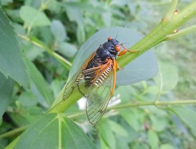 Cicadas - In Living Color - 4