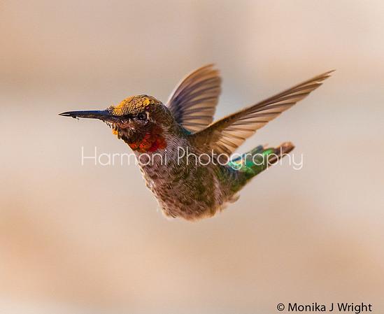 Harmoni photography California-Hummingbirds