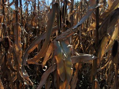 Corn Maze! 10-10-2010