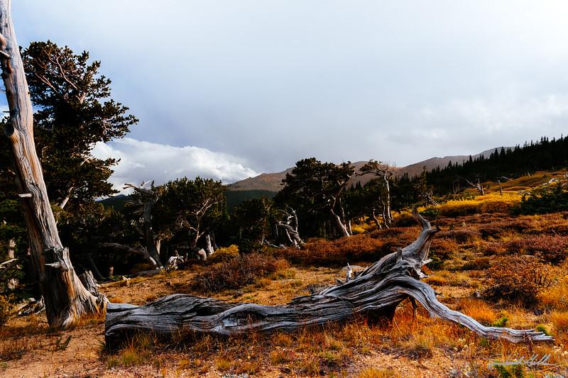 Bristlcone Pines