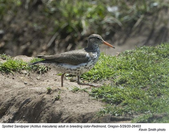 Spotted Sandpiper A26403.jpg