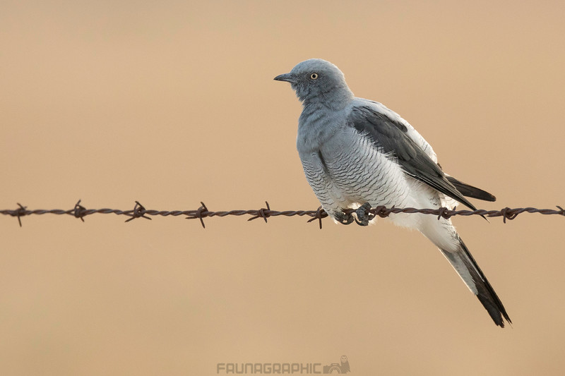 Ground Cuckooshrike