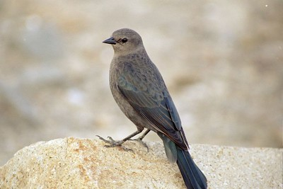 BIRDS: Blackbirds & Allies (Icteridae)