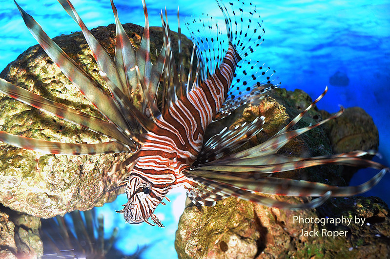 Lionfish close up .jpg