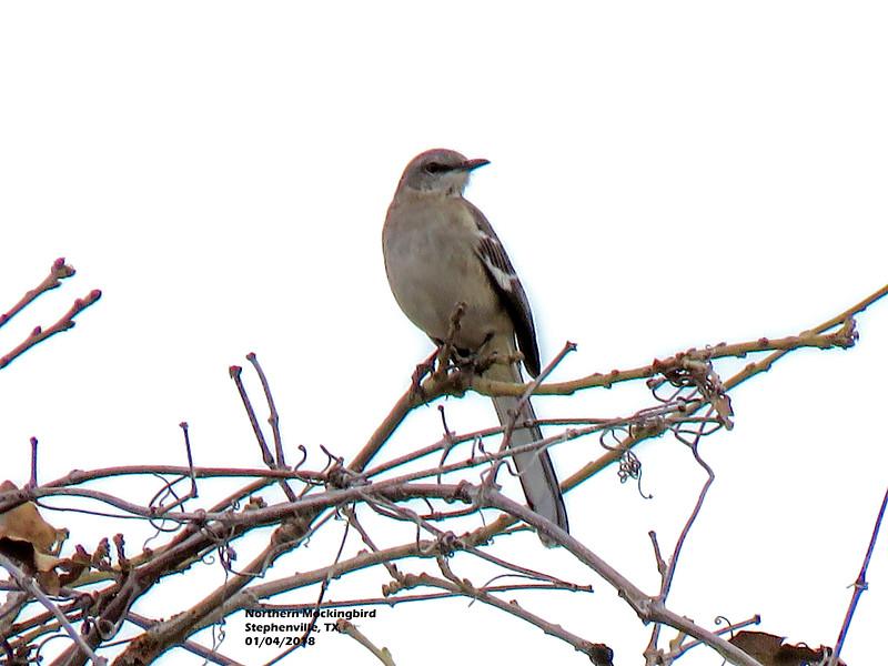 IMG_9104 3T Northern Mockingbird Stephenville TX 104 1639.jpg