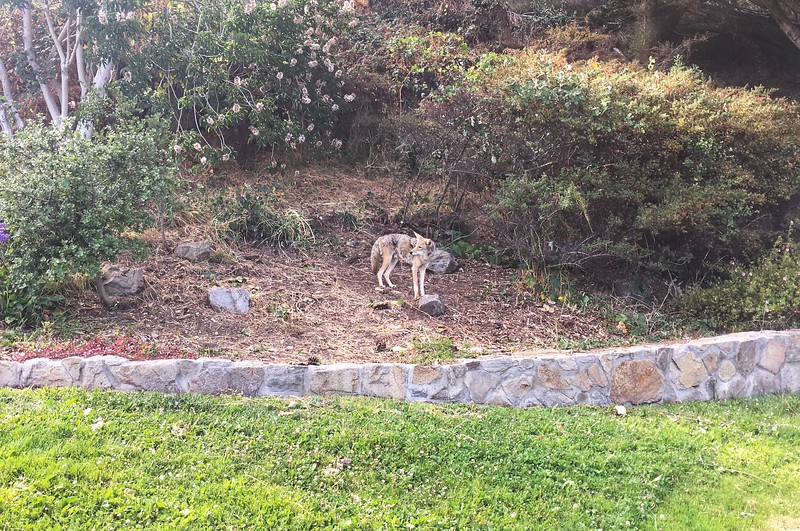 Coyote in Buena Vista