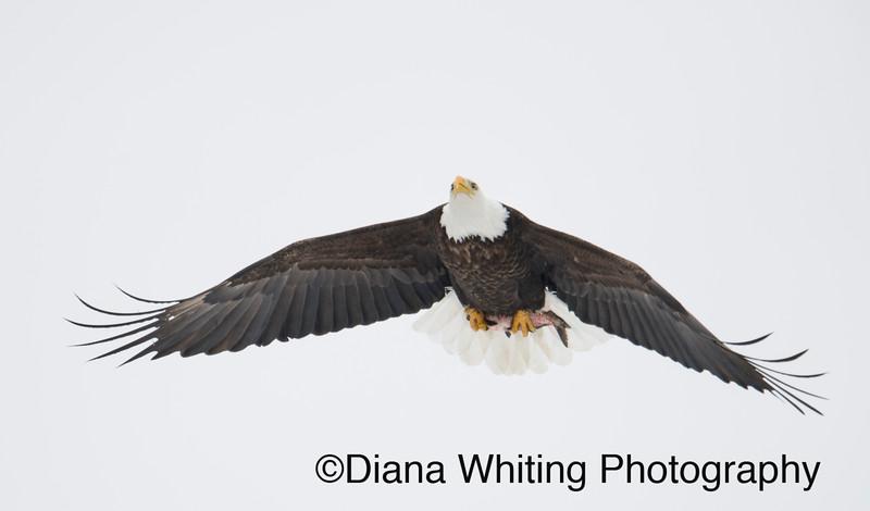 bald eagle 9 copy.jpg