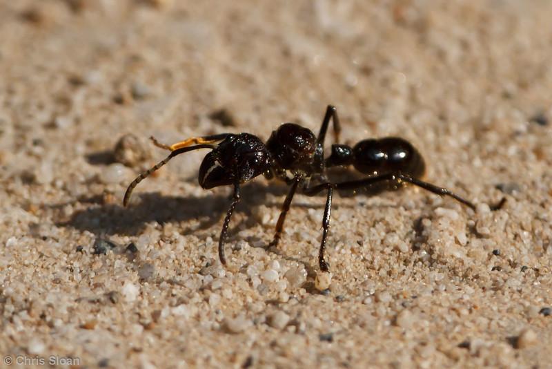 Bullet Ant at Juan Guerra, Tarapoto, Peru (07-04-2010)-76.jpg