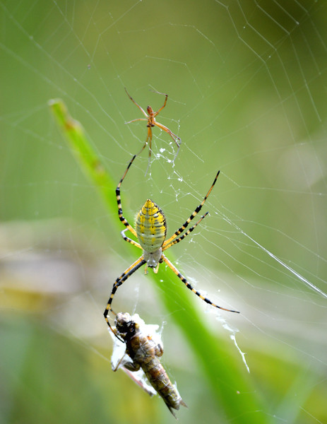 yellowblack-garden-spider.jpg