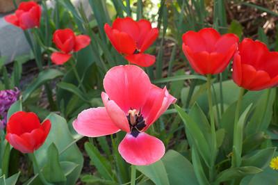 Tulips mid april2010