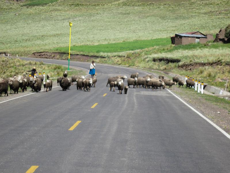 Sheep crossing Road