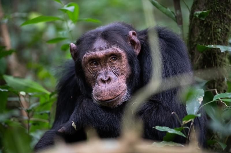 Uganda_T_Chimps-604.jpg