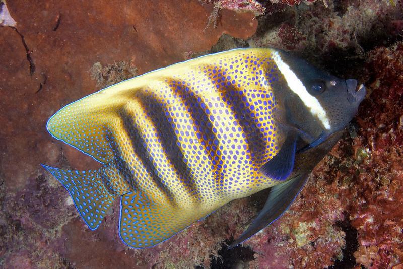 Six Banded Angelfish.jpg