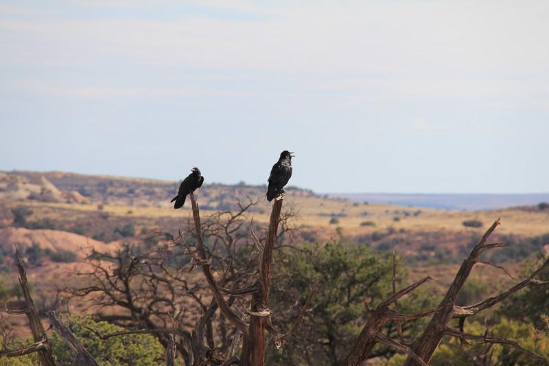 20180715-021 - Canyonlands NP - Ravens at Mesa Arch Trailhead.JPG