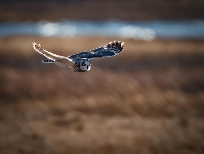 _5000806 Short-eared Owl coming in.jpg