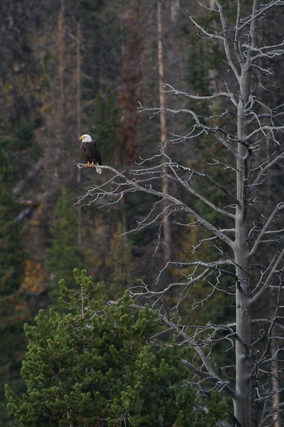 Bald Eagle perch Yellowstone _MG_3910.jpg