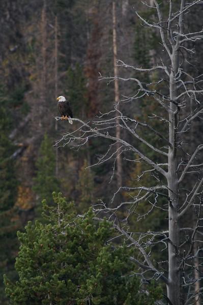 Bald Eagle perch Yellowstone _MG_3910.jpg