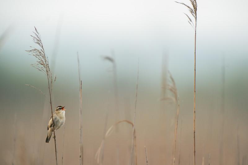 rokitniczka | sedge warbler | acrocephalus schoenobaenus