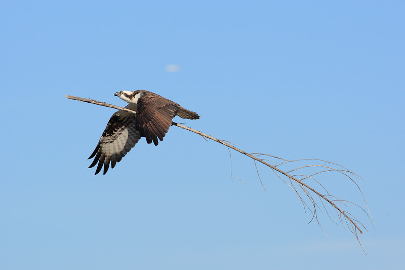 Male_Osprey_Working_on_Nest_2P8E5884.jpg