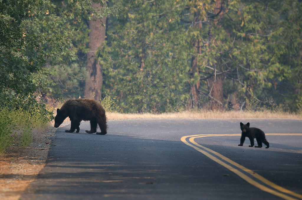. A bear and cub cross a road near the Rim Fire on August 24, 2013 in Yosemite National Park, California. T  (Photo by Justin Sullivan/Getty Images)
