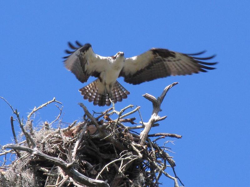 1_9_21 Osprey at Eagle Lake Park in Largo.jpg