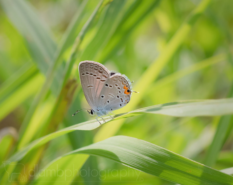 Walking the Plank: Eastern Tailed Blue Butterfly