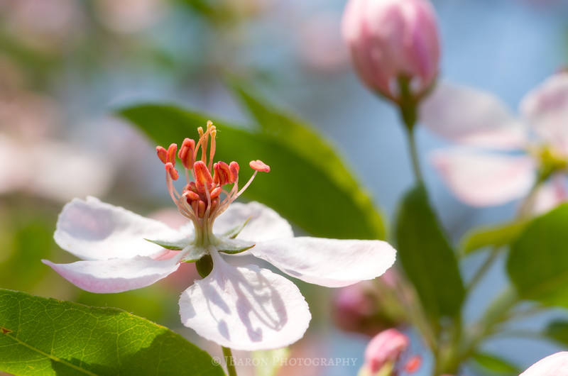Springtime Crabapple Bloom