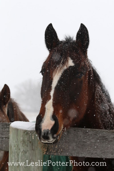Horse Looking Over Fence in Winter