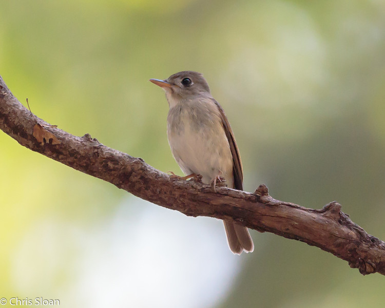 Brown-breasted Flycatcher at Chinnar Wildlife Refuge, Tamil Nadu, India (02-28-2015) 062-289.jpg