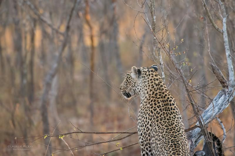 Leopard (Salayexe), Sabi Sands (EP), SA, Sept 2015-1.jpg