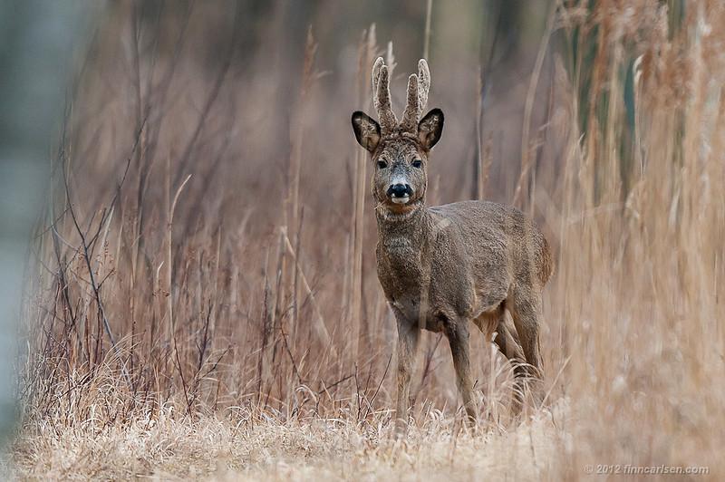 Rådyr (Capreolus capreolus - Roe Deer), han, Lyngby Åmose - marts 2012