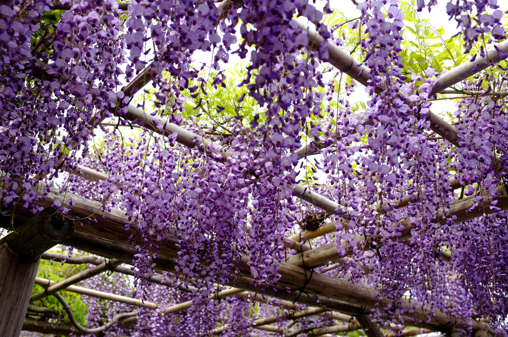 Wisteria at Kameido Shrine