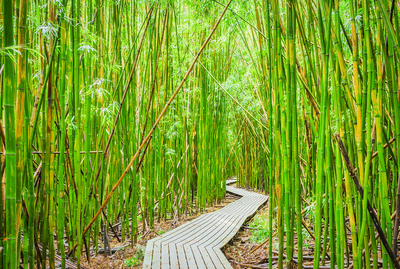 Bamboo Forest, Study 1, Maui, Hawaii