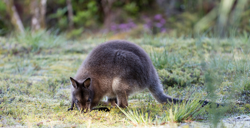 Red-necked (Bennett's Wallaby)