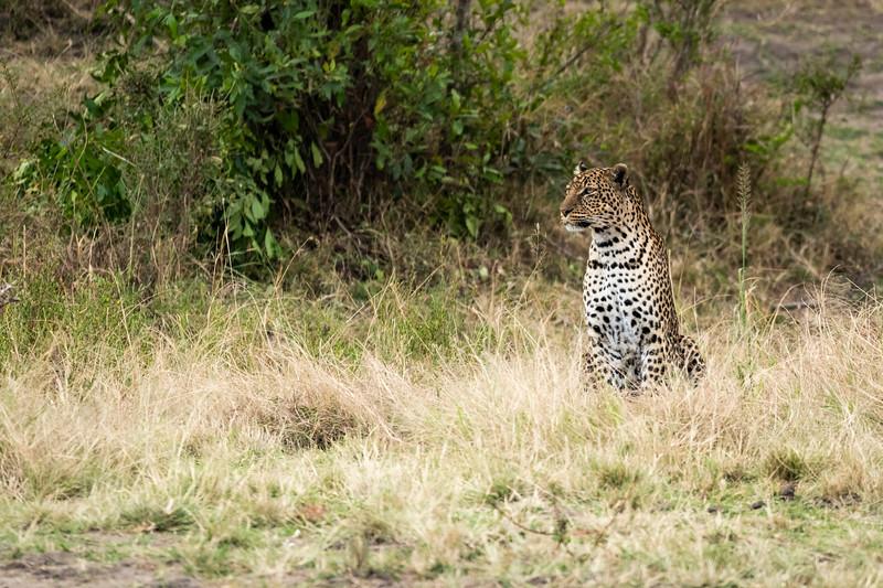 Leopard (1 of 1).jpg