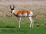 American Antilope