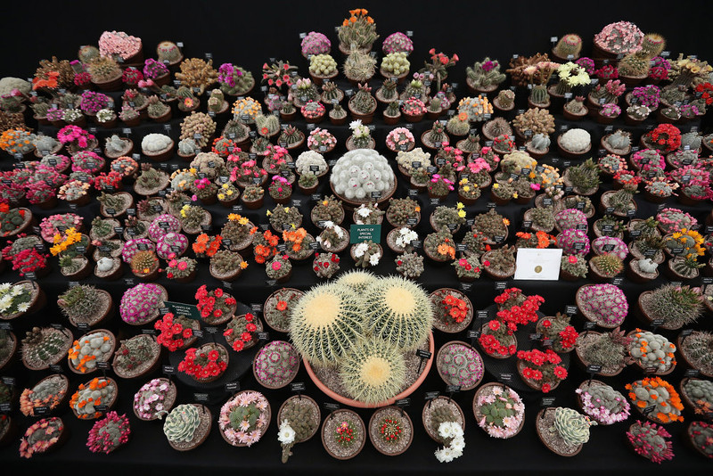 . Cacti are displayed on the \'Southfield Nursery\' stand at the RHS Chelsea Flower Show on May 21, 2013 in London, England. The Chelsea Flower Show run by the RHS celebrates its 100th birthday this year.  (Photo by Oli Scarff/Getty Images)