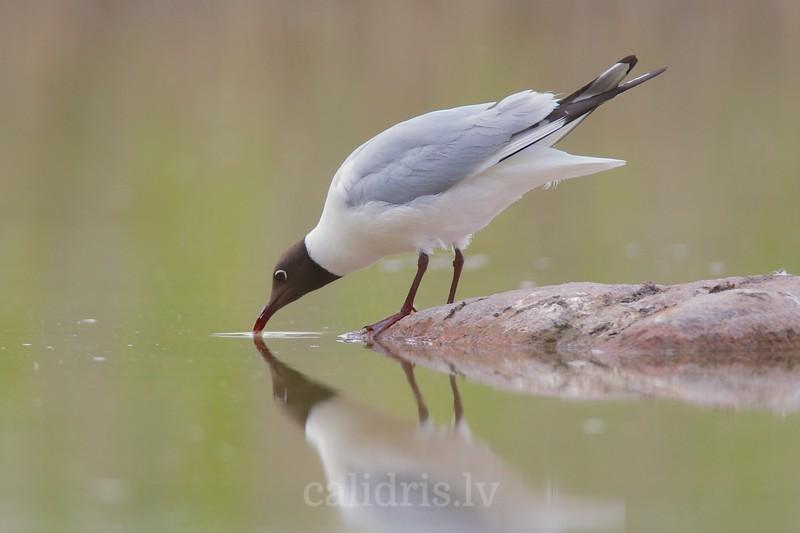 Black-headed Gull / Lielais kiris