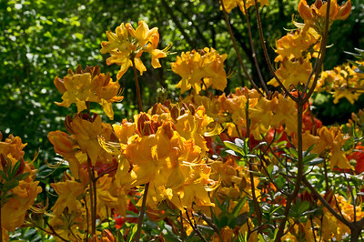 Rhododendrons, Azaleas, and other heath family shrubs